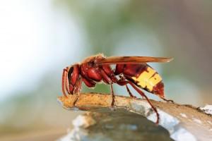Hornissen im Haus sind gefährlich für Allergiker.